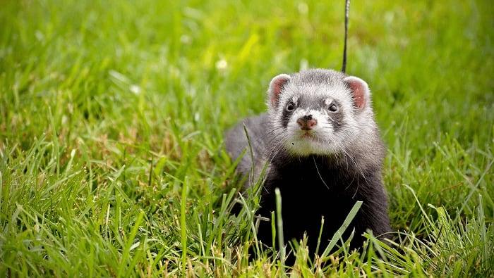 Ferret Going For A Walk Outside