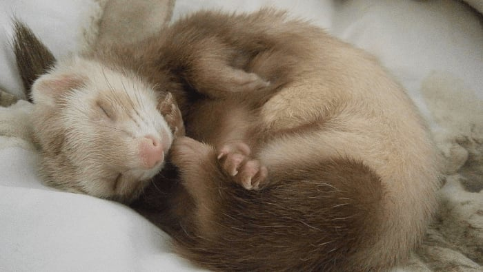 Ferret Sleeping