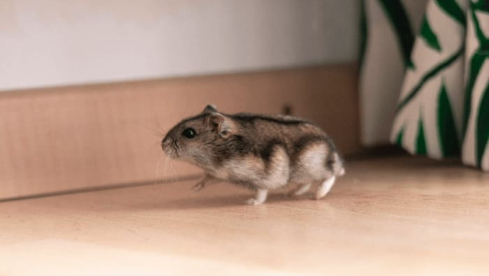 Campbell's Russian Dwarf Hamster