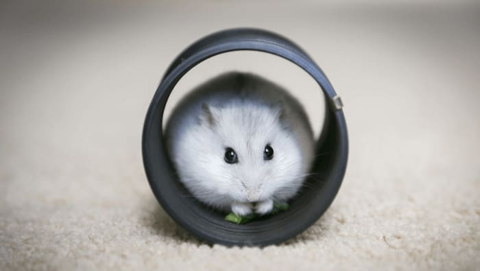 Siberian Winter White Russian Dwarf Hamster