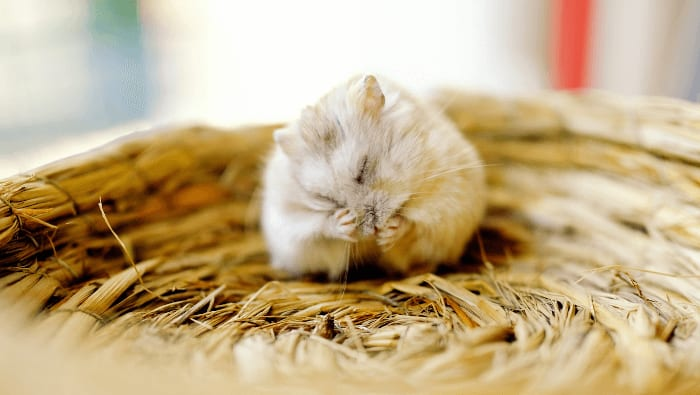Roborowski Dwarf Hamster