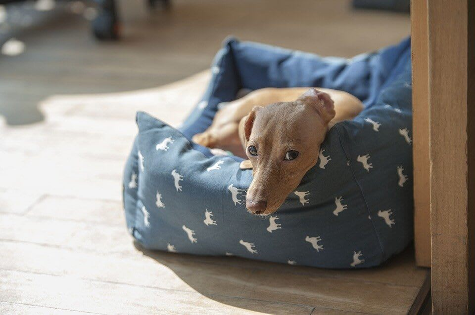 Brown Dachshund In A Blue Dog Bed