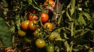 гроздь томата