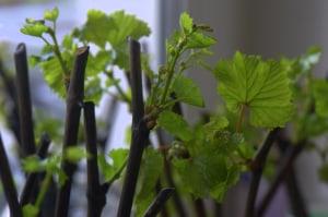 проросшие виноградные черенки
