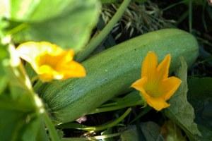 кабачок плод