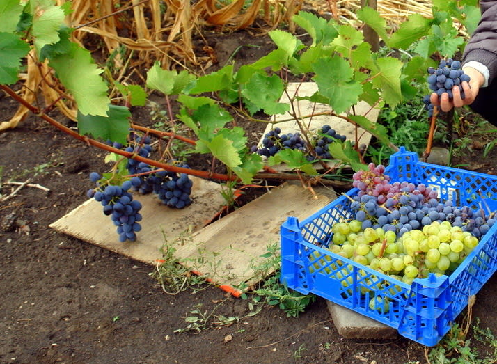 кисти винограда урожай