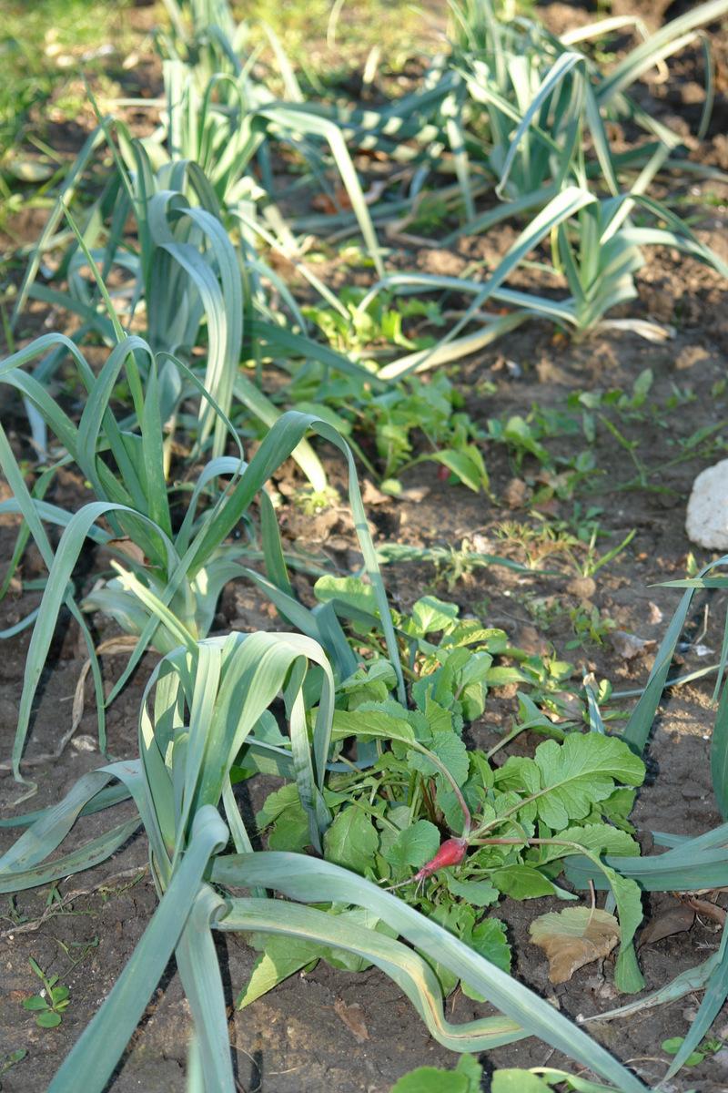 лук порей и редис