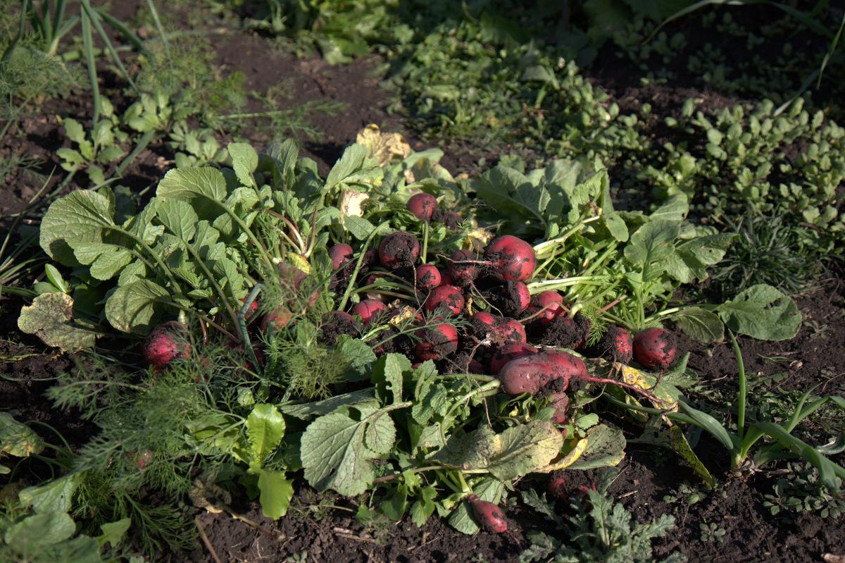 урожай редиса и зелени