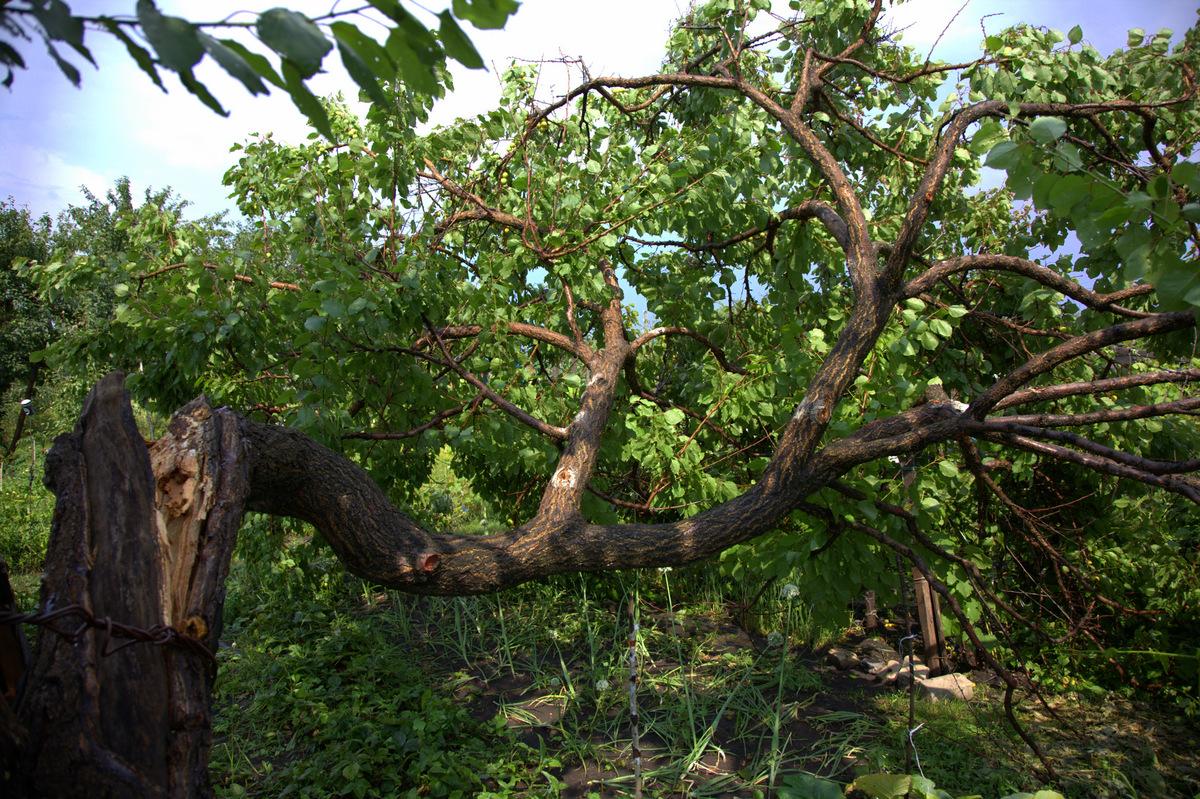сломанное дерево абрикоса