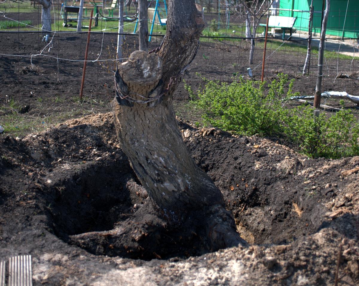 корчуем пень старого дерева
