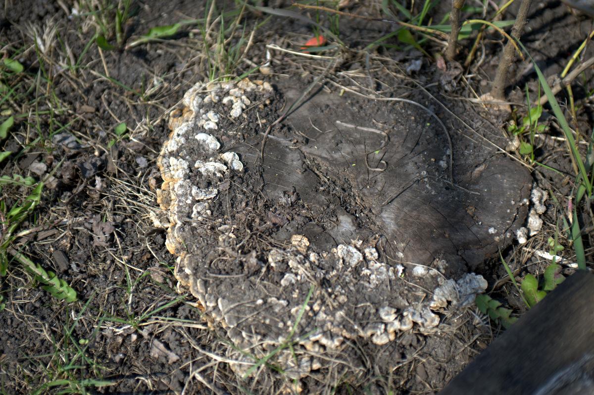 старый пень в грибах