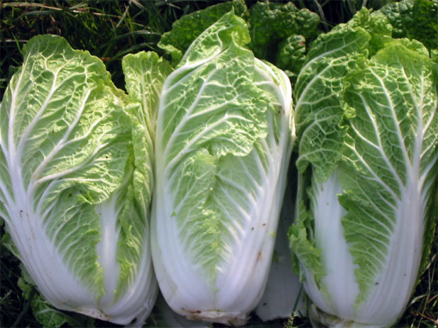 Opinion asian grow seed veg