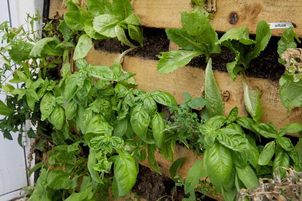 Basil for pallet garden