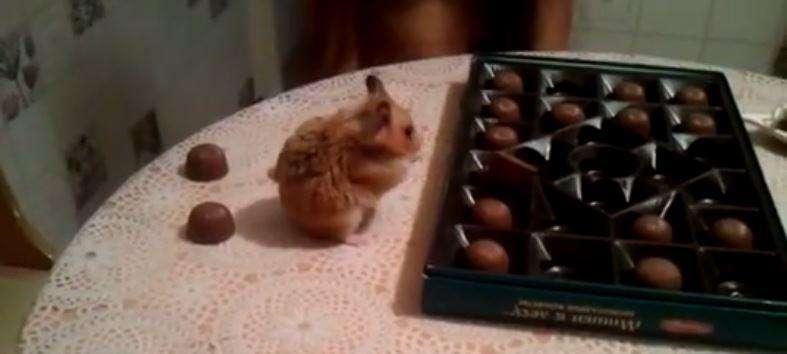 Видео: Хомяк убирает разбросанные людьми конфеты в коробку