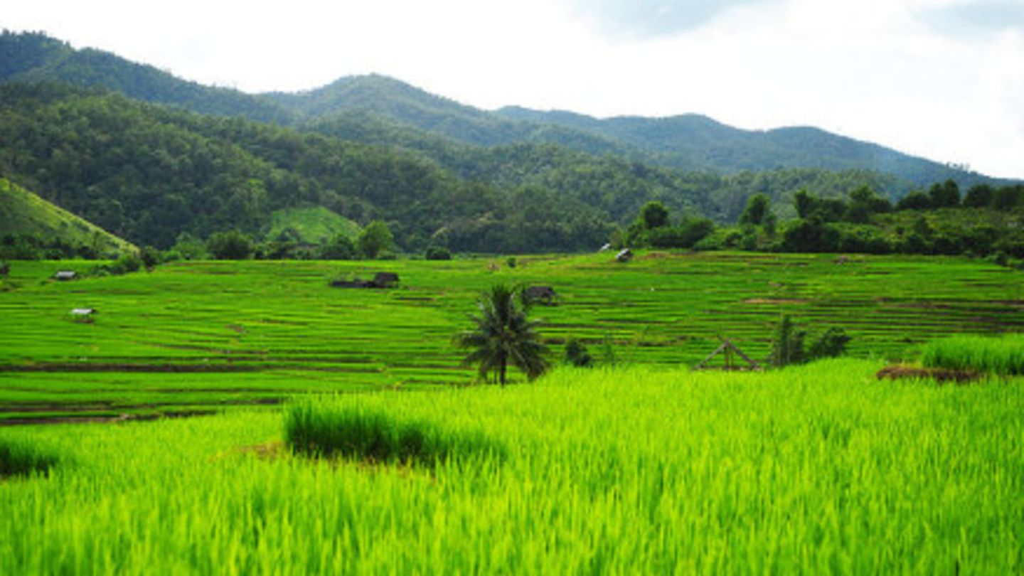 Rice fields in Thailand to show one of the places on the malaria map