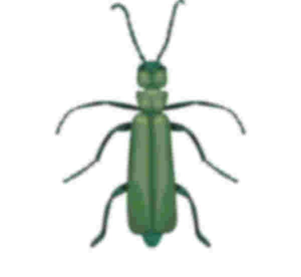 Spanische Fliege Zeichnung