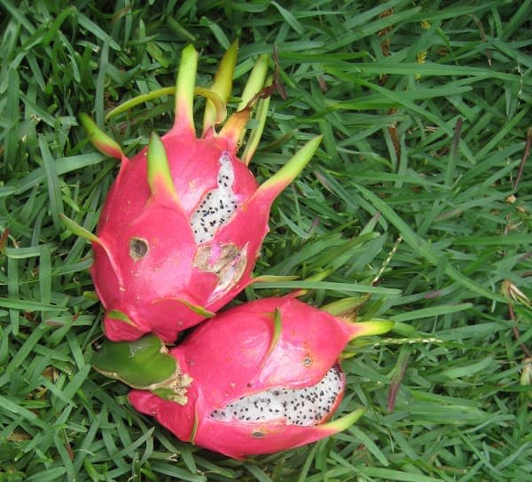 Dragon fruit splitting: Why & how to prevent it