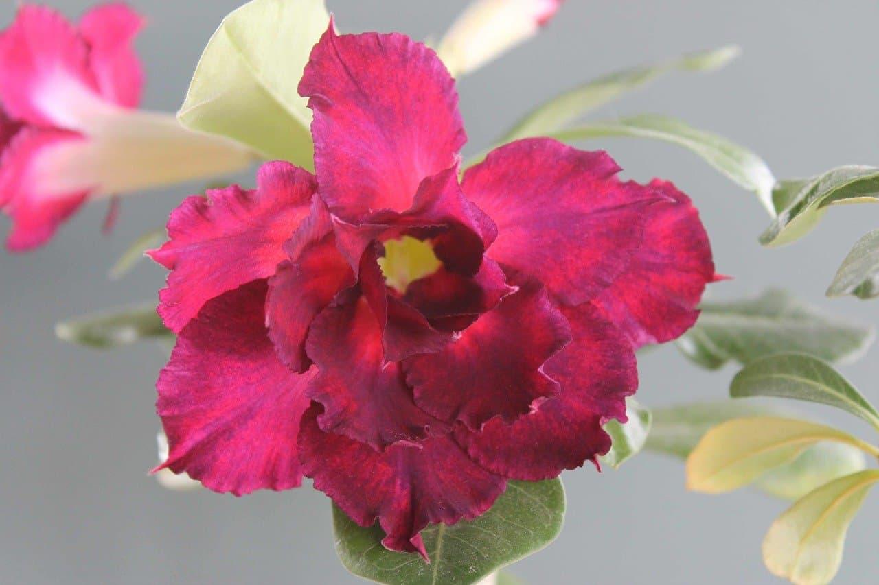 Adenium Desert Rose Photos