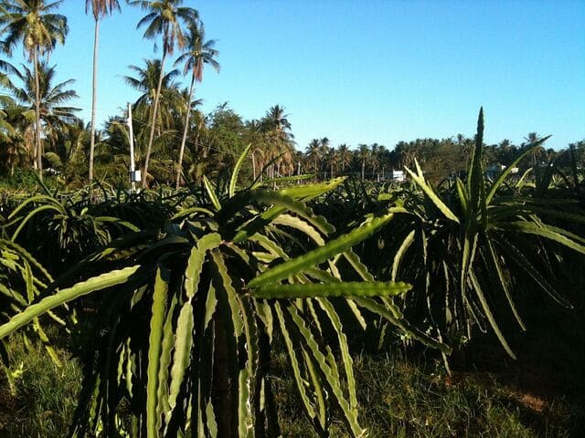 Best Soil for Dragon Fruit: What they Like and Don't Like