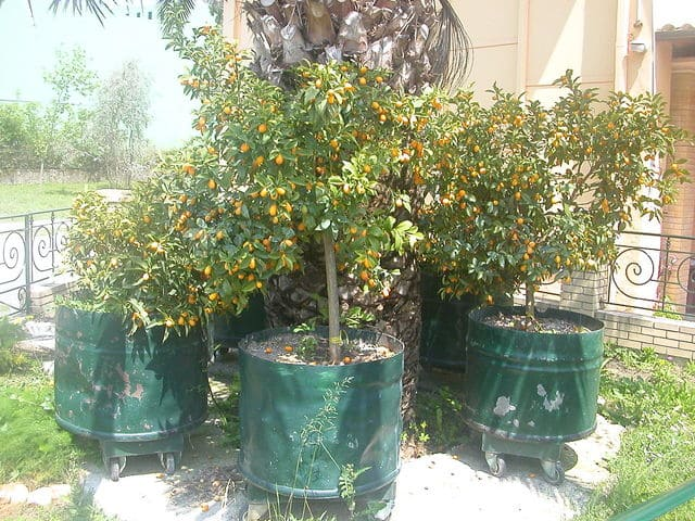 Can You Grow Kumquats in Pots
