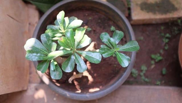 Why Do We Defoliate Adenium Desert Roses?