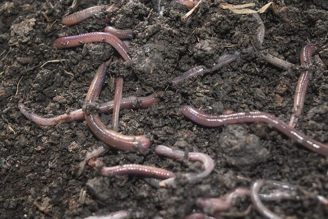 Different Types of Composting Worms: 5 Varieties