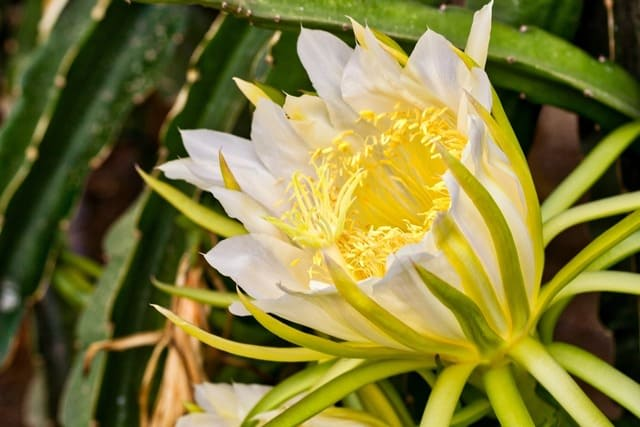Dragon Fruit Flowers Fall Off: Reasons & Solutions