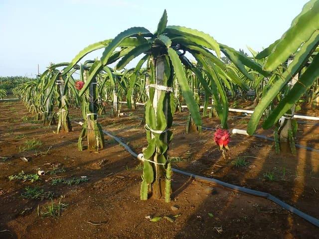 Dragon fruit stem & root rotting: Saving & Preventing