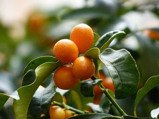 Dwarf Kumquat Tree for Sale