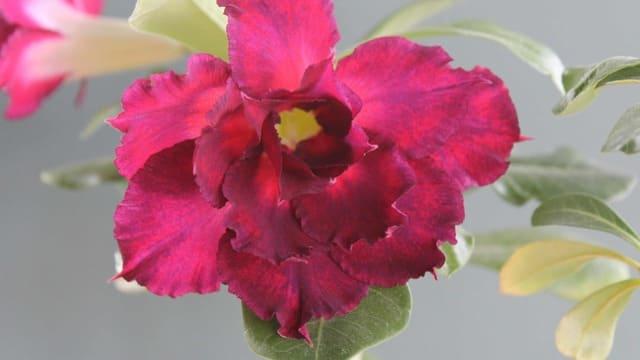 How to Graft Adenium Desert Rose