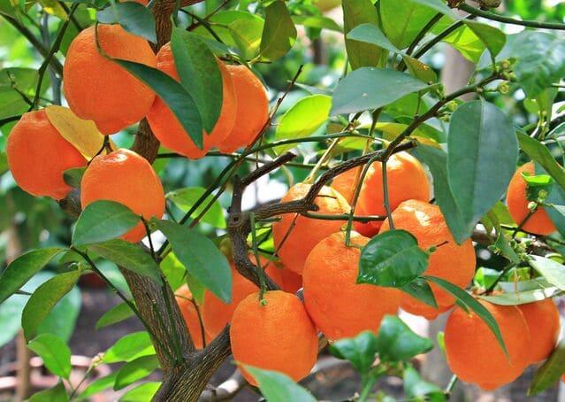How to graft kumquat tree