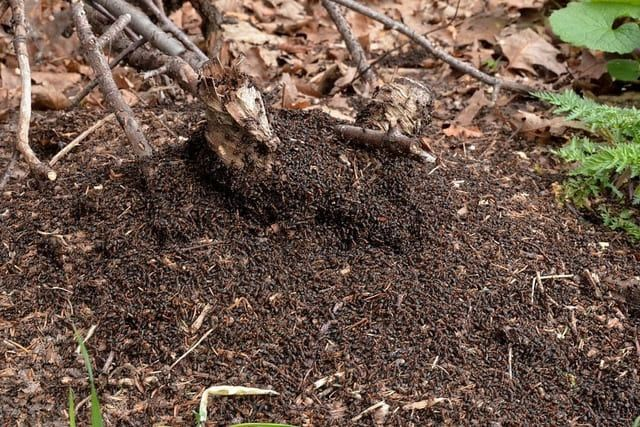 How do I get rid of ants in my compost bin
