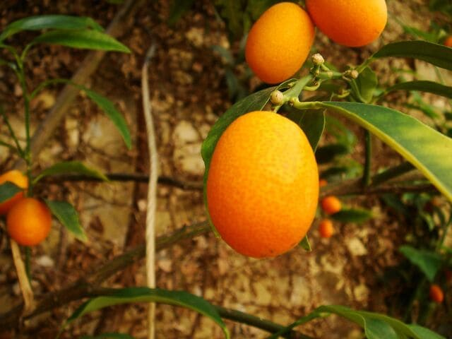 How Long Does It Take A Kumquat Tree to Produce Fruit