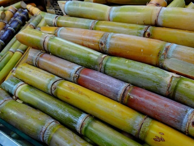Is Sugarcane Easy to Grow?