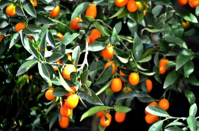 Kumquat Varieties: 4 Delicious