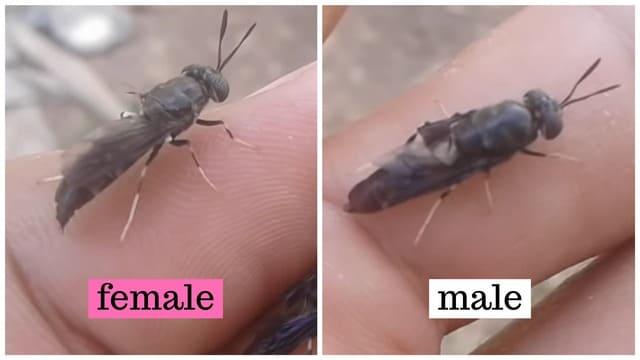 Male vs Female Black Soldier Flies: Differences
