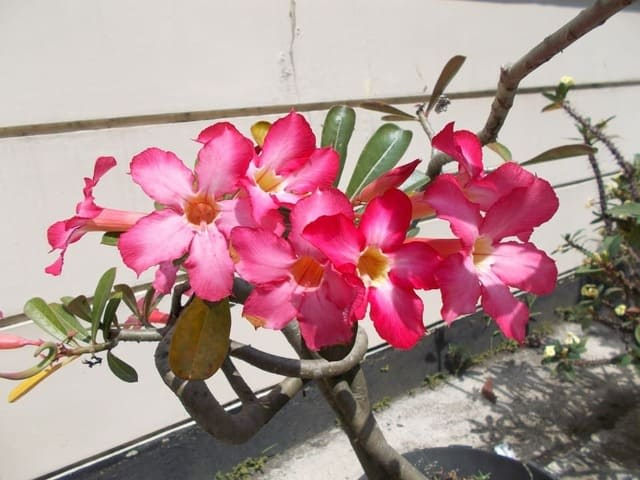 How to Get Tons of Desert Rose Flowers & Branches without Pruning