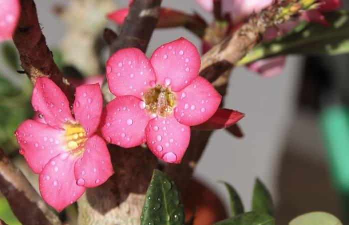 Adenium Rainy Season Care: 6 Helpful Tips