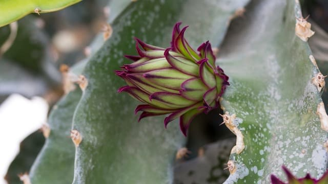 Are there red dragon fruit flowers?
