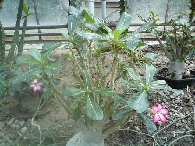How to Save Soft Caudex on Desert Rose Plants