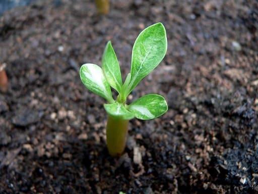 How to Start Adenium Desert Rose From Seeds
