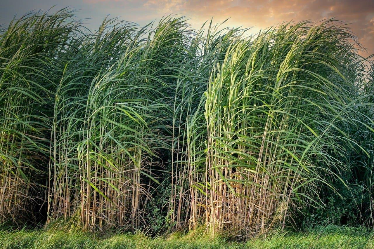 Sugarcane Plants