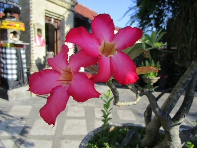 What to Do After Pruning Desert Roses?