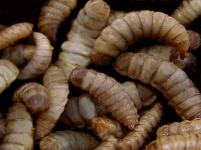 What Black Soldier Fly Larvae Do & Don't Eat