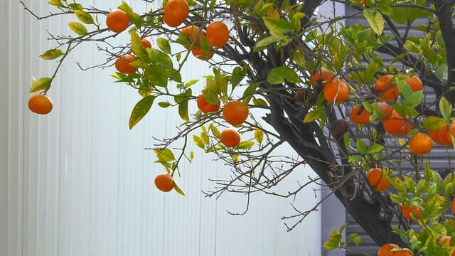 What Kind of Soil Do Kumquats Like
