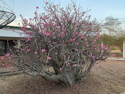 4 Desert Rose Winter Care Tips