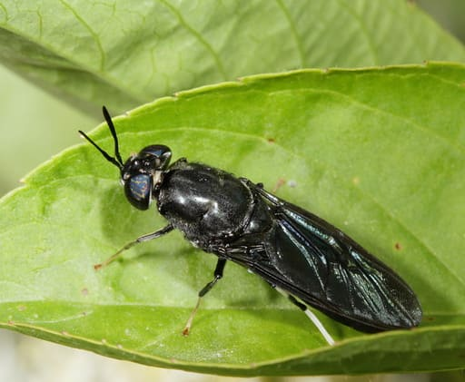 Black Soldier Fly Farming: 4 Common Mistakes Compiled
