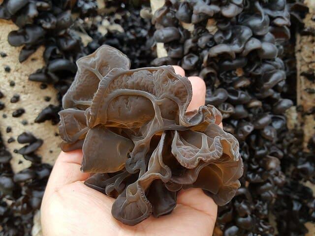 Growing Wood Ear Mushroom In Bags