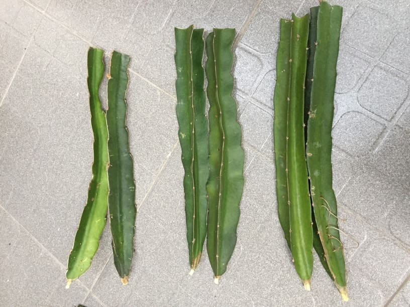 How to Choose Dragon Fruit Cuttings
