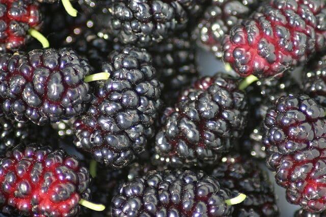 Fermenting Mulberries
